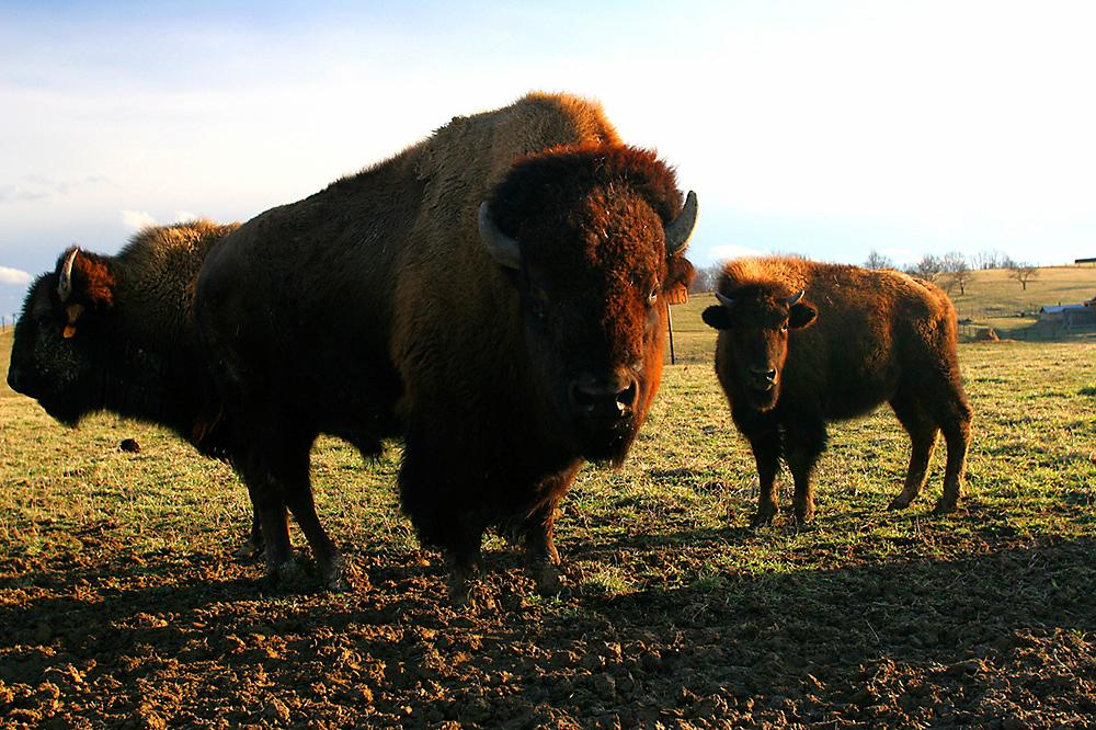 Buffalo fencing