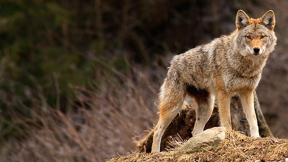 Coyote fencing