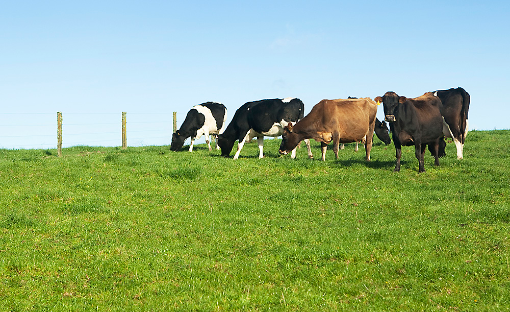 Fencing for dairy cows