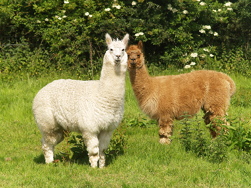 Llama and Alpaca fencing