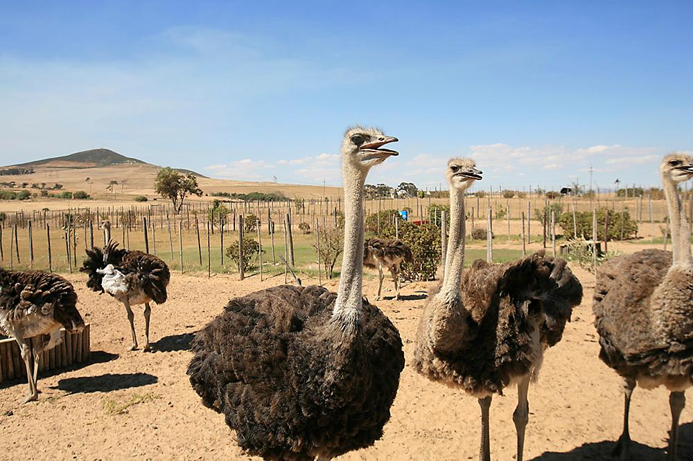Ostrich fencing