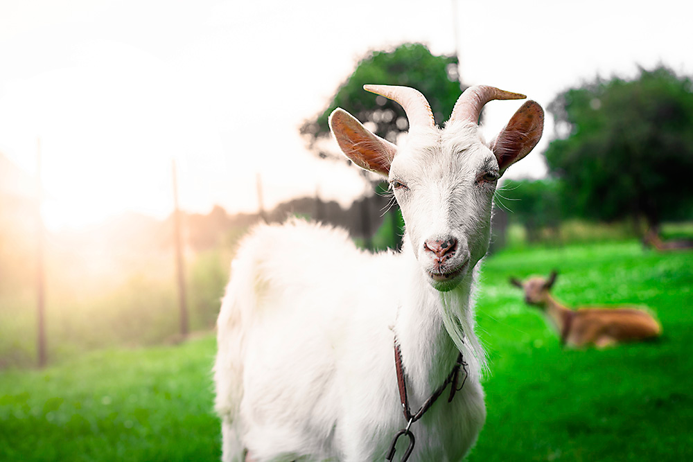 Electric Fencing for Goats | Electric Fence for Sheep - Zareba