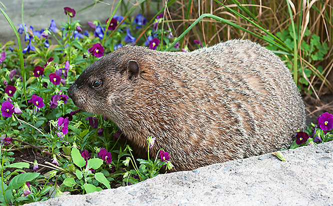 Groundhogs can quickly destroy a vegetable garden and devour the plants in your flower bed.