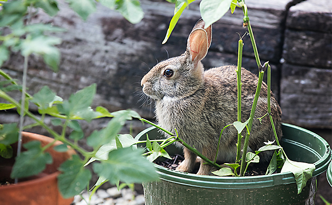 Rabbits are agile and can get into plants where you least expect them -- including eating straight from a planting container