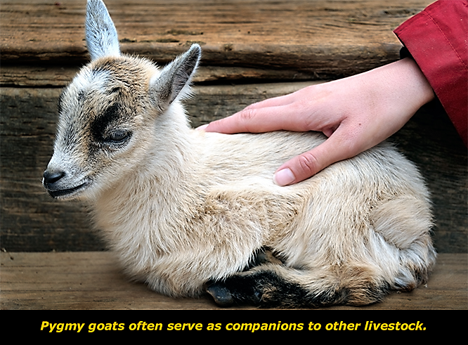 Get to Know the Pygmy Goat