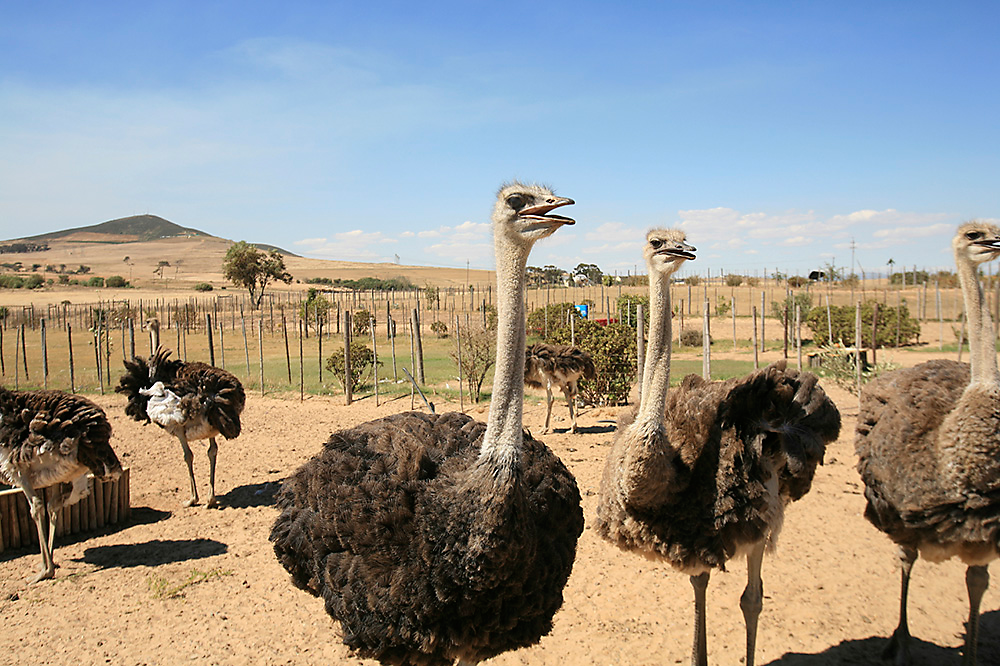 Electric Fence For Emus Ostrich Fencing Zareba