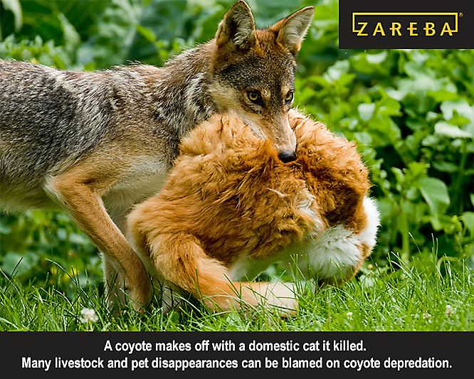 coyotes kill cats