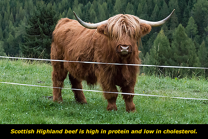 Get to Know the Scottish Highland Cattle