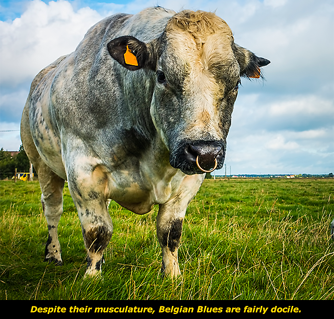 Get to Know Belgian Blue Cattle